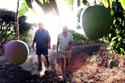 Mango farmers, North Qld, Australia
