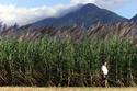 Farmer Bob Rossi walks past his sugarcane crop